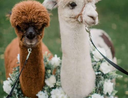 Alpaca Kisses and Sweetheart Wishes
